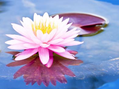 download 5d lotus flower - photo #16